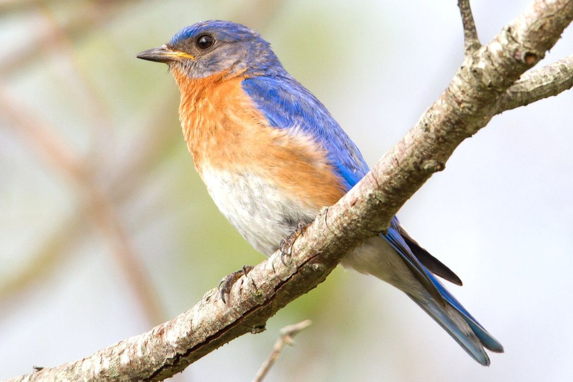eastern bluebird 58f8c8ba3df78ca15978a2be